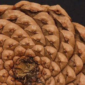 Detail of a pinecone and its spirals.